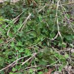 Growing Nettles