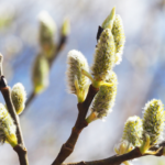 Spring Wildcraft/Foraging Plants: Willow