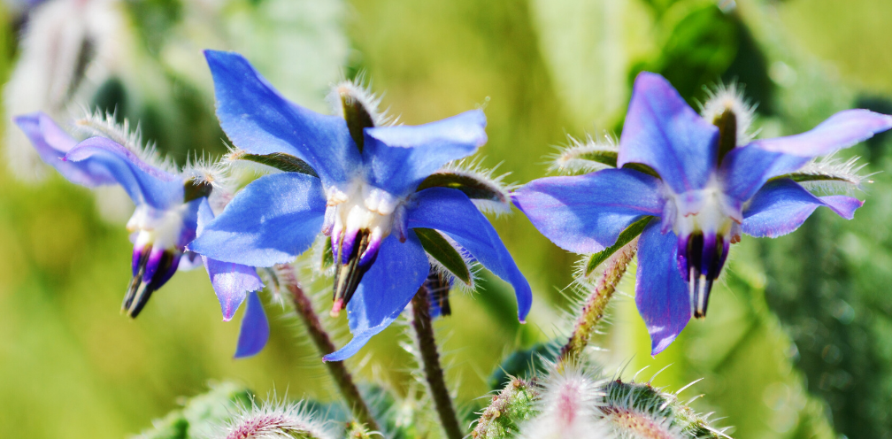 soft focus closeup of bright blue borage, Borago officinalis flowers on a green background