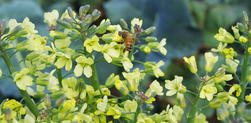 closeup of yellow flowering boccoli, Brassica oleracea, with a honeybee on one of the blooms