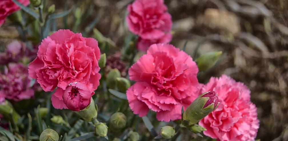 close up of a pink carnation, Dianthus caryophyllus bush