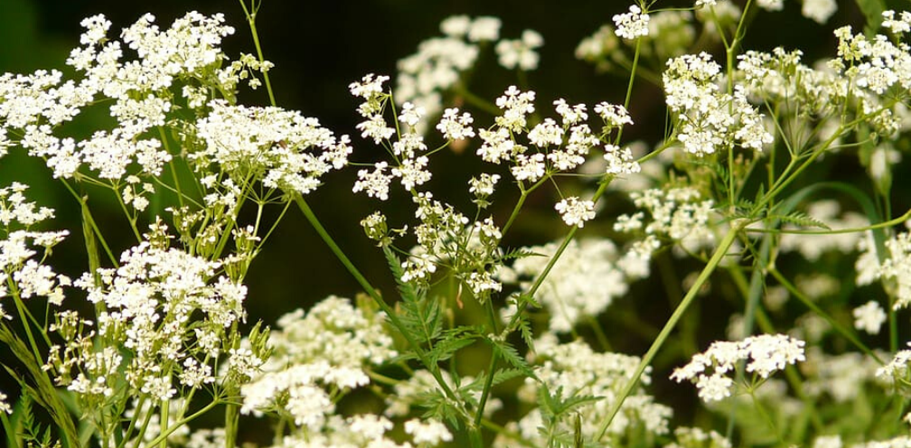 close up of wild chervil, Anthriscus cerefolium, with white flower umbels