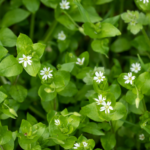 Foraging/Wildcraft Series: Chickweed