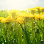 Foraging/Wildcrafting Series: Dandelion