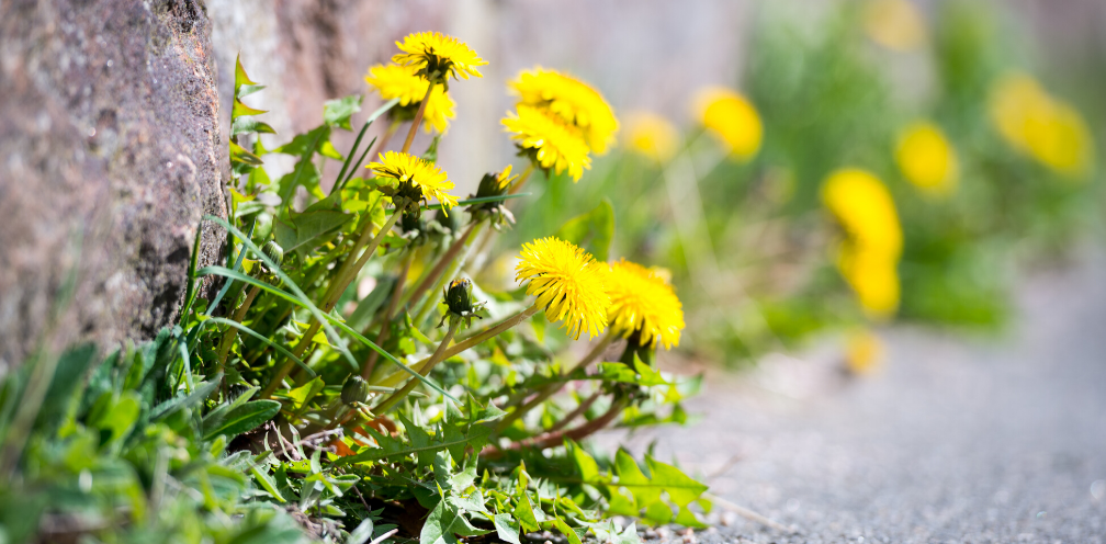 soft focus closeup of yellow dandelions, Taraxacum officinale growing out of a stone wall