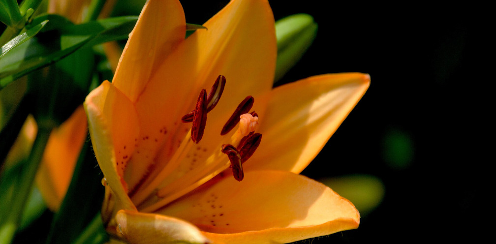 closeup of an orange/peach daylily, Hemerocallis spp.