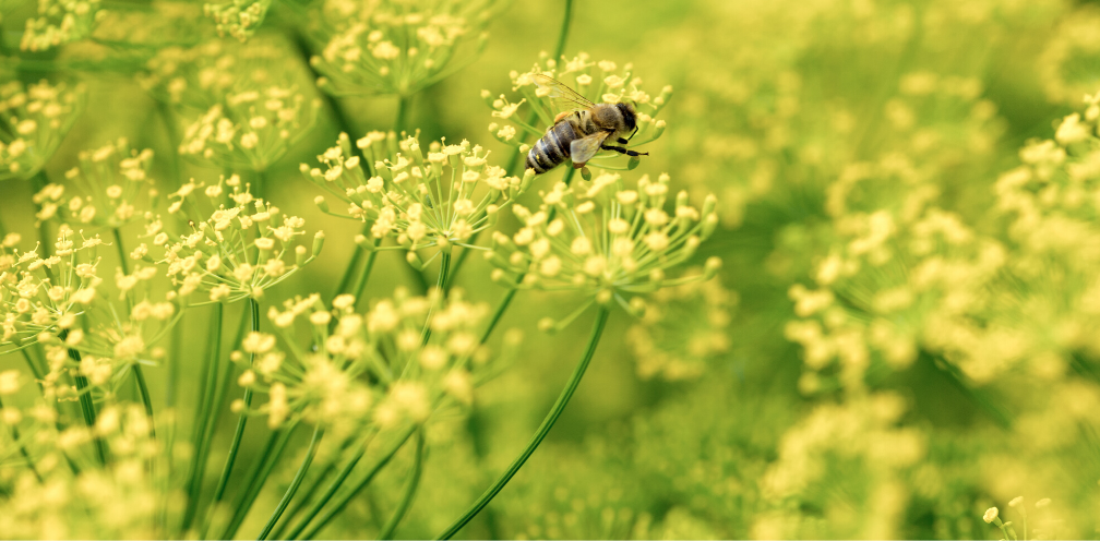 soft focus closeup of flowering dill, Anethum graveolens with a honeybee on one of the flowers