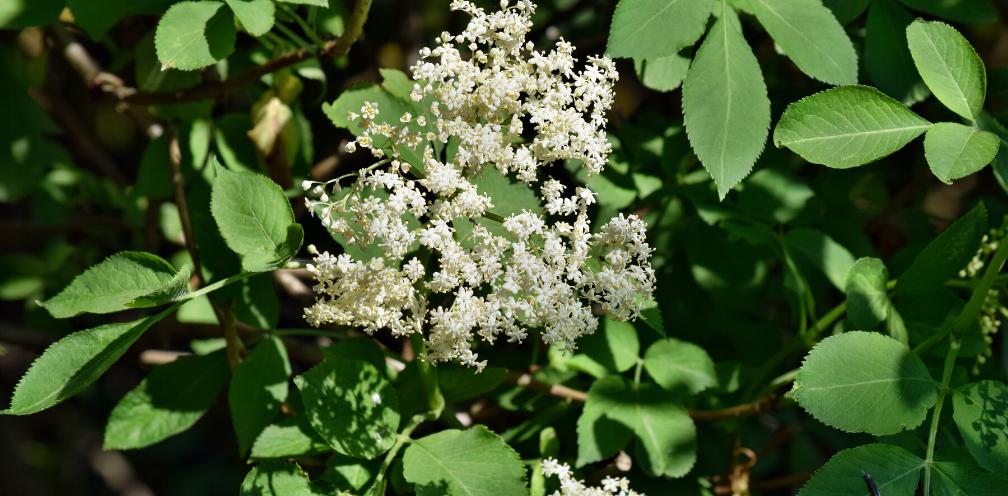 closeup of elder flower, elderflower, Sambucus spp., on an elder bush