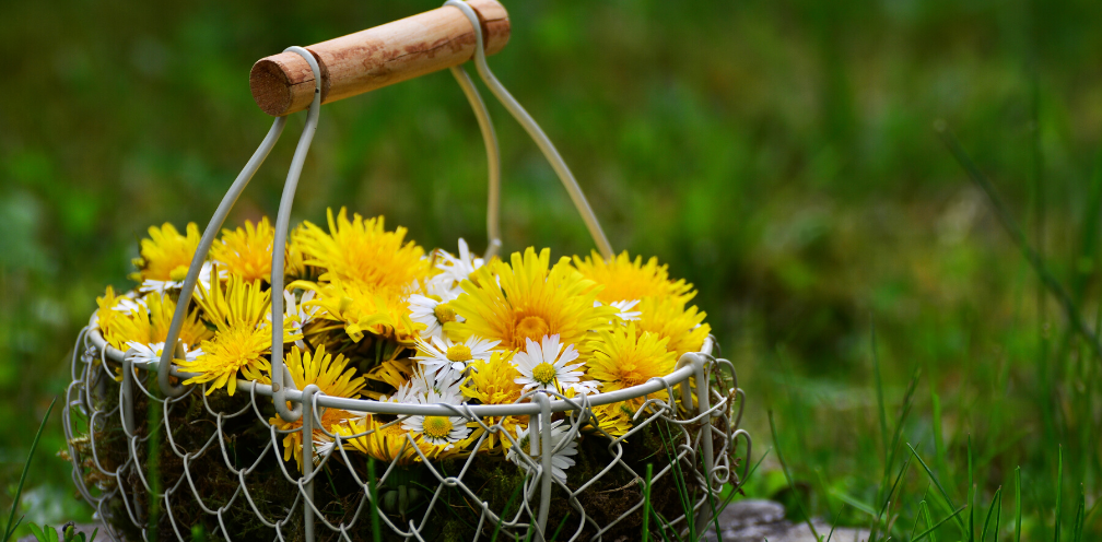 soft focus close up of a wire basket containing yellow dandelion flowers and white daisys