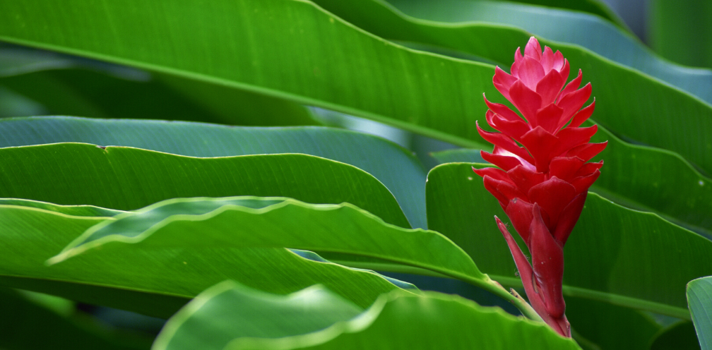 close up of a red flowering ginger plant