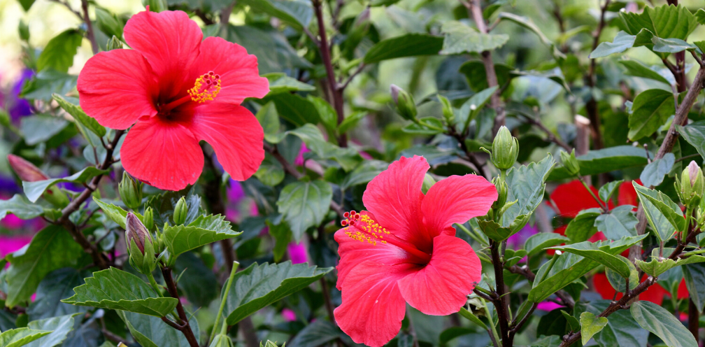 two bright pink/red hibiscus, Hibiscus spp. blossoms