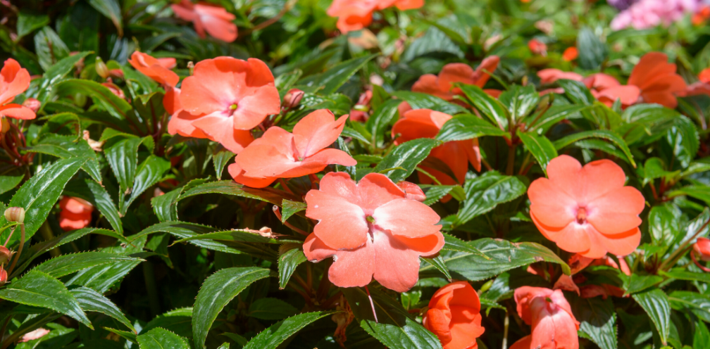 closeup of an orange/peach impatiens, Impatiens wallerianal, bush