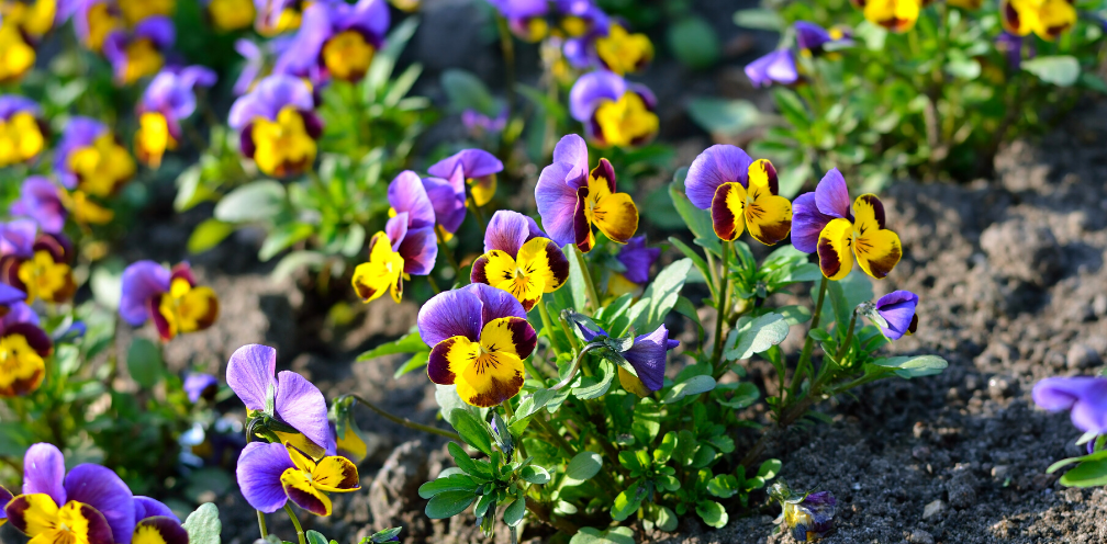 field of purple and yellow Viola spp. Johnny Jump-up flowers
