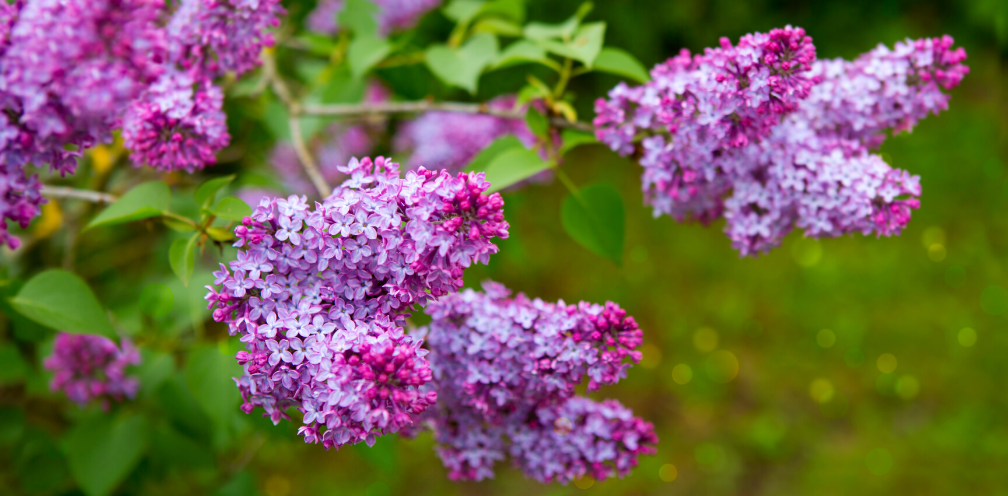 clusters of purple lilacs, Syringa vulgaris, growing on a bush