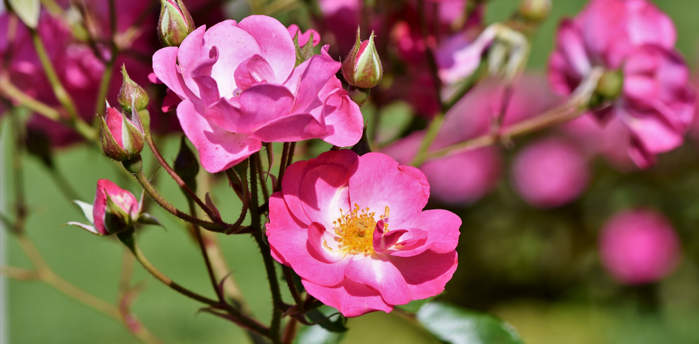 closeup of bright pink wild rose, Rosa spp. buds and blooms
