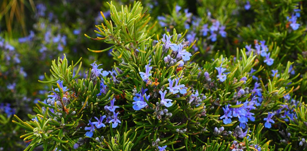 closeup of a flowering rosemary Rosmarinus officinalis bush