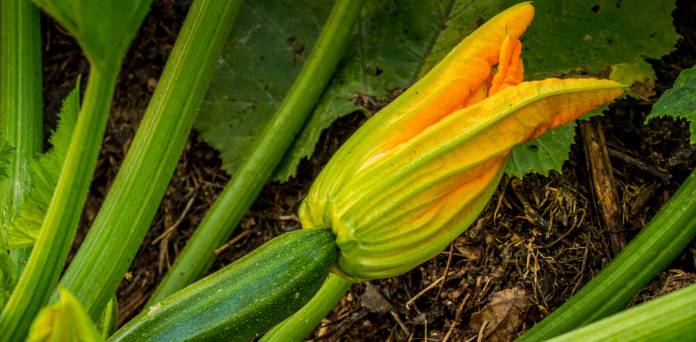 closeup of yellow squash blossom, Curcubita pepo, on the plant