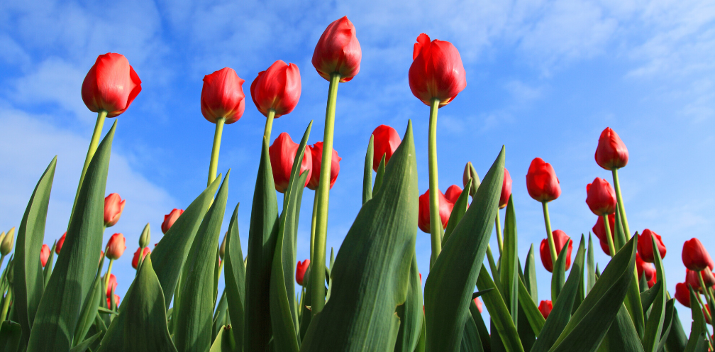 upward shot of red tulips on a backdrop of blue sky