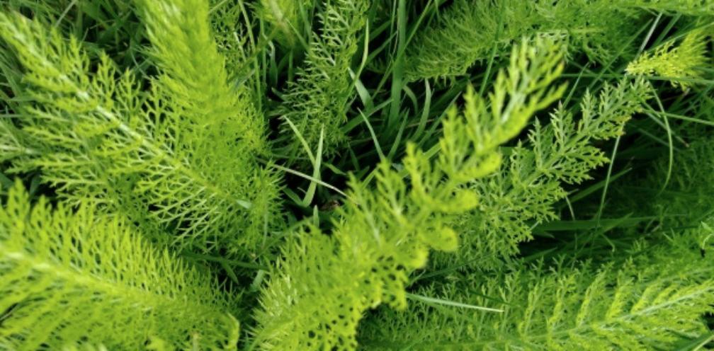 close up of bright green feathery yarrow leaves, Achillea millefolium