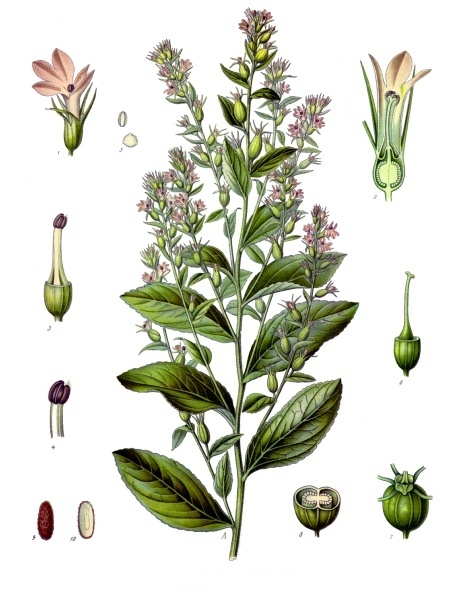 botanical illustration of Lobelia inflata