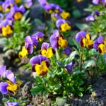 Cultivating Violets