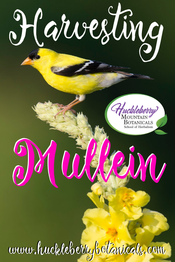 close up of the top of a flowering mullen plant with a yellow bird perched on top