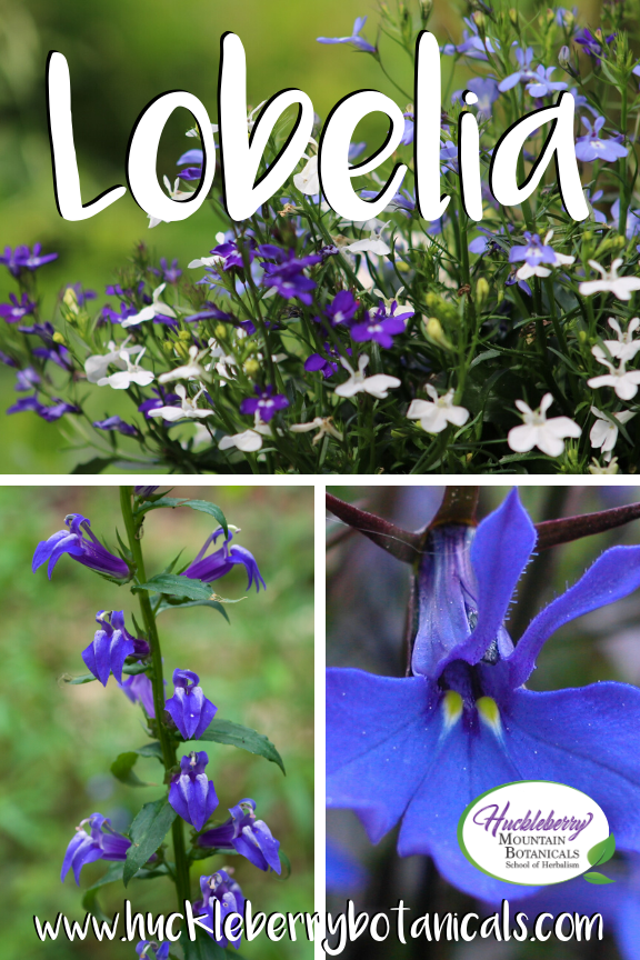 image collage of Lobelia inflata showing close ups of the purple and white flowers