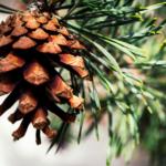 How to Identify Pine
