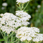 All About Yarrow