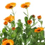 Cultivating Calendula