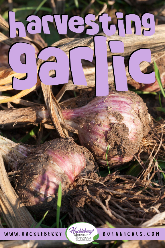 close up of freshly harvested garlic bulbs, covered in dirt
